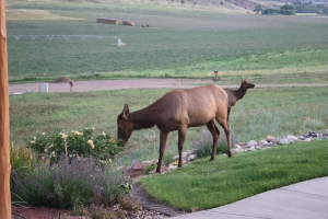Elk eating my garden - the fruit of my labor